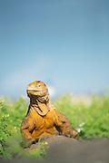 Land Iguana, Galapagos Islands, Ecuador, South America