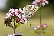 Chalkhill blue butterflies (Lysandra coridon) on marjoram. Denbies Hillside, Nr. Dorking, Surrey, UK.