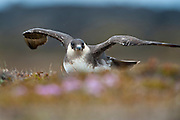This bird will feed on rodents, small birds and insects but also robs gulls and terns of their catches. Like the larger skua species, it continues this piratical behaviour throughout the year, showing great agility as it harasses its victims.