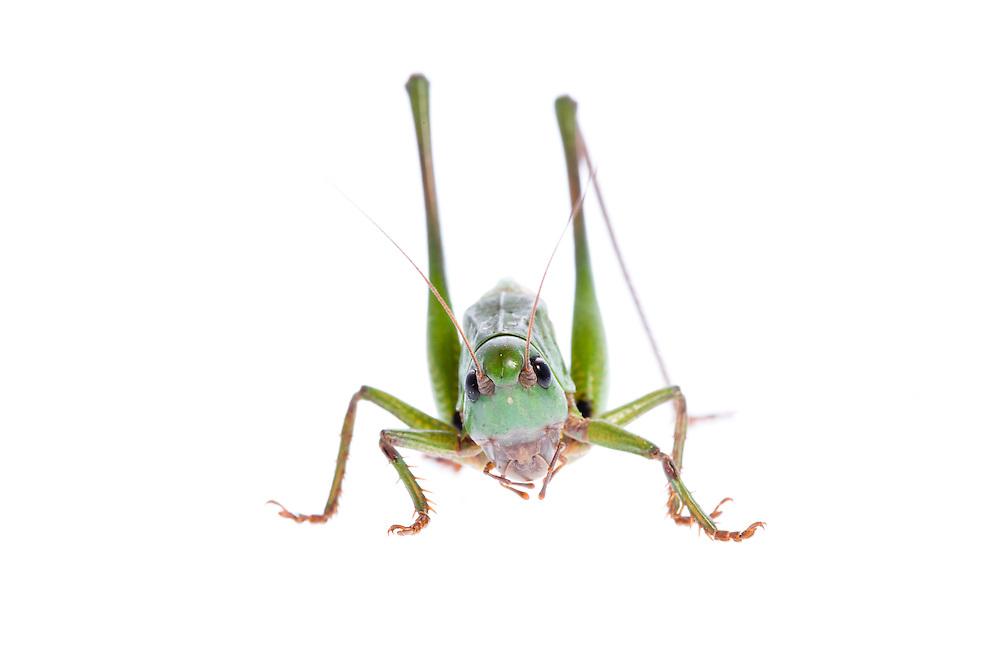 IFTE-NB-007691; Niall Benvie; Decticus verrucivorus; grasshopper; Europe; Austria; Tirol; Fliesser Sonnenhänge; invertebrate insect arthropod; horizontal; high key; green white; controlled; adult; one; upland grassland meadow; 2008; July; summer; backlight strobe; Wild Wonders of Europe Naturpark Kaunergrat