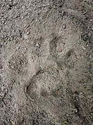 Mountain lion paw print in the sand on Estes Lake trail about 4 inches wide.