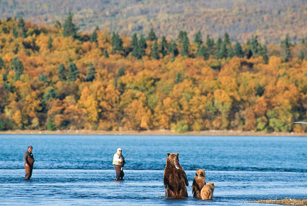 Alaska. Katmai NP. Grizzly Bear (Ursus horribilis) taking salmon from the end of fisherman's line.