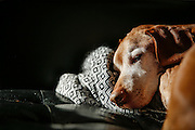 SHOT 1/31/17 2:26:03 PM - Tanner, a 12 year-old male Vizsla, napping on the sofa at his home in Denver, Co. The Vizsla, is a dog breed originating in Hungary. The Hungarian or Magyar Vizsla represents one of the best in sporting dogs and loyal companions and has a strong claim to being one of the smallest of the all-round pointer-retriever breeds. The Vizsla's size is one of the breed's most attractive characteristics and through the centuries he has held a unique position for a sporting dog -- that of household companion and family dog. The Vizsla is a natural hunter endowed with a good nose and an above average trainability. Although they are lively, gentle mannered, demonstrably affectionate and sensitive, they are also fearless and possessed of a well-developed protective instinct.<br /> (Photo by Marc Piscotty / © 2017)