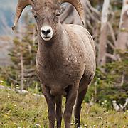 Bighorn Sheep in Glacier National Park, Montana, USA