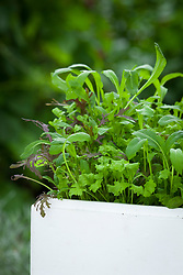 Baby salad leaves mixture grown in old polystyrene fish box. Includes Cress 'Bubbles', mibuna and Mustard 'Red Frills'