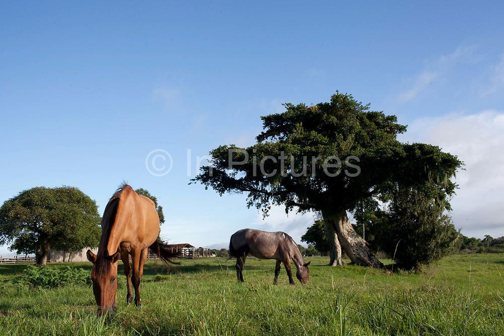 Horses grazing on the grass. Working Gaucho Fazenda in Rio Grande do Sul, Brazil.