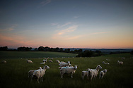 A field of sheep and young lambs at dawn. Didling, West Sussex.<br /> Picture date: Sunday July 12, 2020.<br /> Photograph by Christopher Ison ©<br /> 07544044177<br /> chris@christopherison.com<br /> www.christopherison.com<br /> <br /> IMPORTANT NOTE REGARDING IMAGE LICENCING FOR THIS PHOTOGRAPH: This image is sold as an open edition print by the artist. No secondary sales or reproduction permitted unless expressly agreed in writing by the photographer.