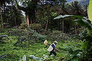 Two workers, in charge of gathering the cocoa harvest, are walking next to a big shade tree, in the plantation of Claudio Corallo on the island of Principe, in Sao Tome and Principe, (STP) a former Portuguese colony in the Gulf of Guinea, West Africa.