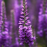 """Deep Purple Haze"" <br /> <br /> Beautiful deep purple Veronica in a Michigan garden!"