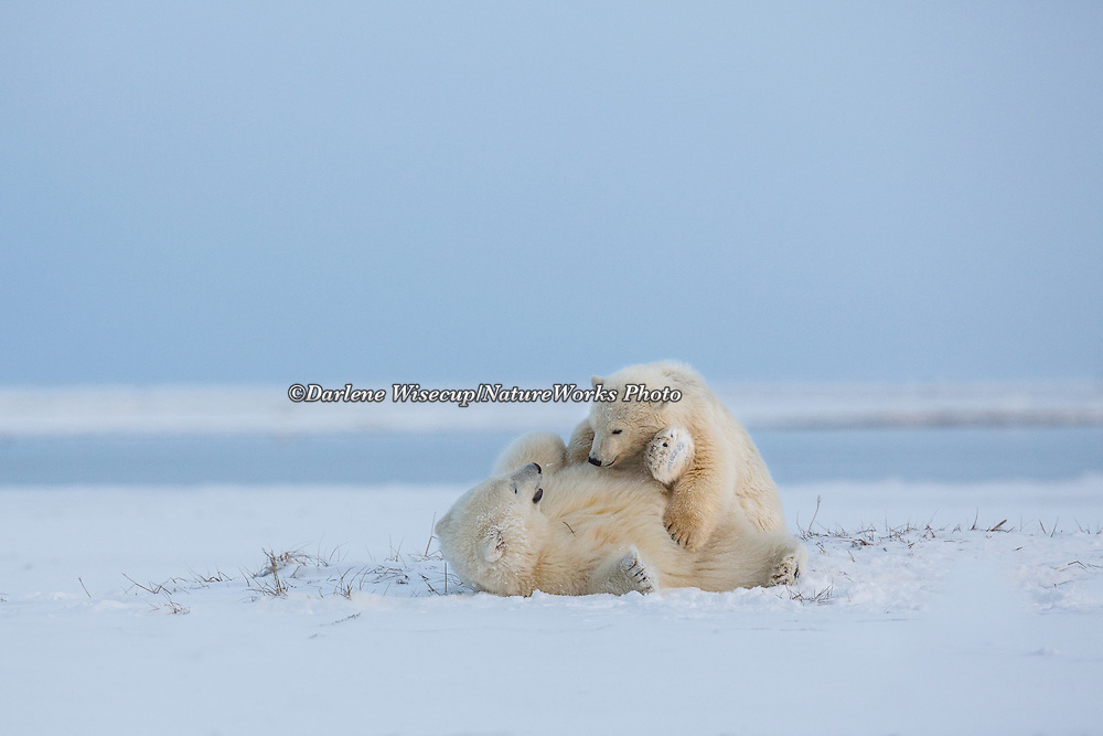 Two polar bear cubs of the year play fight and tackle each other, Kaktovik, arctic Alaska