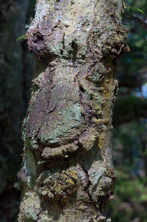 Tree Bark Close-up at English Camp, San Juan Island, Washington, US