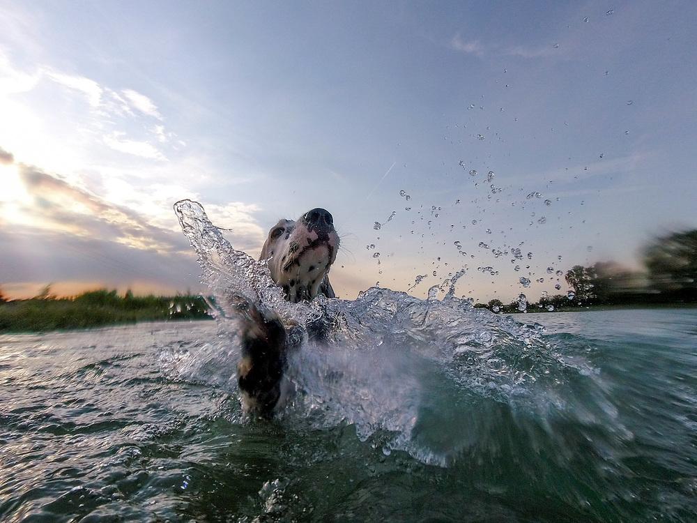 """English Setter Welpe """"Rudy"""" lernt am 03.06. 2017 im Teich von Stara Lysa, (Tschechische Republik) das Schwimmen.  Rudy wurde Anfang Januar 2017 geboren und ist vor einiger Zeit zu seiner neuen Familie umgezogen."""