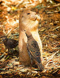 Starling brings in reinforcements to try and get the food away from the prairie dog.