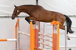 069 - Elvira P<br /> KWPN Paardendagen - Ermelo 2012<br /> © Dirk Caremans