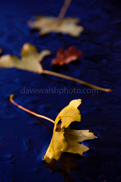 Leaves freeze into the ice on ponds as winter sets in the Vondelpark, Amsterdam