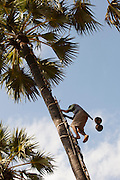 A man collects coconuts from a palm tree near Bagan, Myanmar
