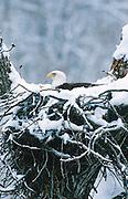 Alaska. Bald Eagle (Haliaeetus leucocephalus) sits on eggs in nest during spring snow storm.