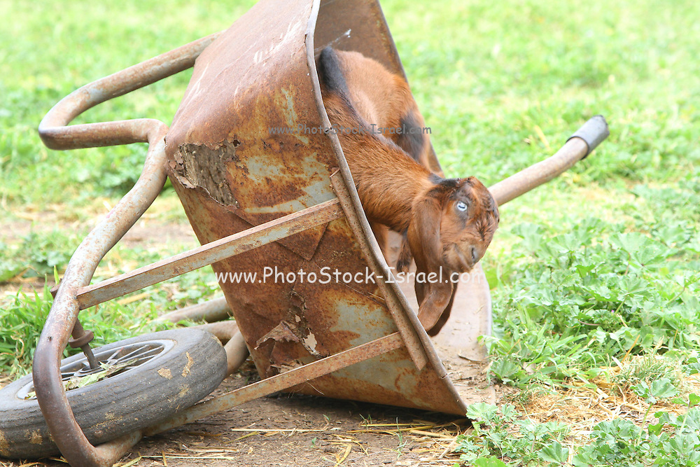 Young goat plays in a rusty old wheelbarrow