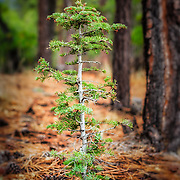 A baby Longpole pine in the Southern California Mountains.