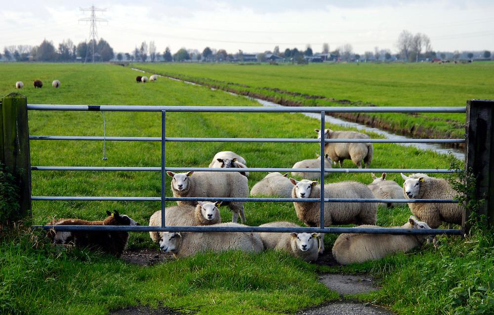 Nederland, Utrecht, 1 nov 2005..Schapen achter een hek in de wei.landbouw, vee. Foto (c) Michiel Wijnbergh