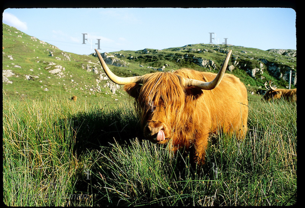 A Highland cow licks its nose as it peers into camera in field along Scotland's west coast. Scotland