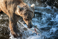Bear 128, Grazer, catches a salmon in the Brooks River during the beginning of the salmon run in July, 2018, Katmai National Park, Alaska