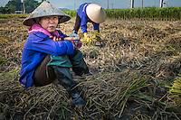 VIETNAM - CIRCA SEPTEMBER 2014:  Vietnamese women harvesting rice in the countryside.