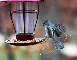 Caught this little Tufted Titmouse coming into the feeder for a splash landing :)