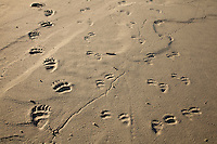 Tracks of mother grizzly bear and her three cubs in the mud flats of Alsek Lake in Glacier Bay National Park. Coastal grizzly bears rely on salmon to stock up on fats and nutirents to make it through the cold winters.