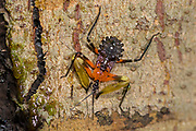 Resin assassin bug (Amulius sp., family Reduviidae) from the rainforest of Tanjung Puting Ntaional Park, Kalimantan, Borneo, Indonesia