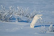 Arctic fox ( Vulpes lagopus ) sequence of diving into snow after prey on tundra of Hudson Bay Lowlands <br />