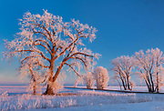 Plains cottonwood trees covered in hoarfrost at sunset. Grande Pointe. Manitoba. Canada<br />Grande Pointe<br />Manitoba<br />Canada