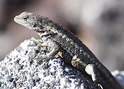 A San Cristóbal lava lizard (Microlophus bivittatus). This species of lava lizard endemic to San Cristóbal.   Puerto Baquerizo Moreno, San Cristobal, Galapagos, Ecuador.