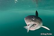 salmon shark, Lamna ditropis, with salmon in mouth, Prince William Sound, Alaska, U.S.A.