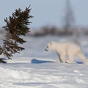 Polar bear (Ursus maritimus) cub recently out of the den. Western Hudson Bay population, Manitoba, Canada