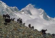 Himalayan tahr with South face Lhotse behind, Khumbu Himal, Nepal