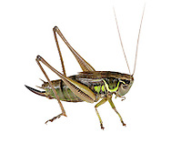 Roesel's Bush-cricket female - Metrioptera roeselii
