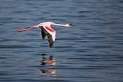 Lesser flamingo (Phoeniconaias minor) Colony of flamingos at Lake Nakuru, Kenya