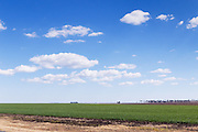 Green early wheat crop  field under blue sky with cumulus clouds near Jimbour Queensland, Australia <br /> <br /> Editions:- Open Edition Print / Stock Image