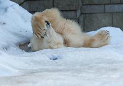 04.01.2011, Wuppertal, GER, Outdoor, Zoo  . im Bild der Eisbaer Lars aus dem Wuppertaler Zoo kann die Zuschauer nicht mehr sehen und bedeckt seine Augen mit der linken Tatze...Foto © nph Freund       ****** out ouf GER ******