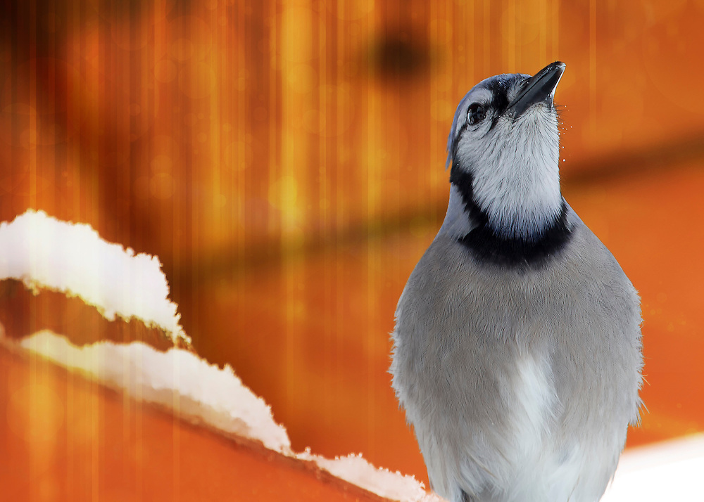 This blue jay was resting under a heat lamp on a cold and snowy winter day in my Missouri backyard. Having a pretty close vantage point I was able to get a dent amount of detail in the feathers of this lovely bird. A close look reveals the water droplets from the falling snow that has melted from the heat of the lamp.<br /> <br /> The Blue Jay is a passerine bird in the family Corvidae, native to North America. It is resident through most of eastern and central United States and southern Canada, although western populations may be migratory.<br /> <br /> This common, large songbird is familiar to many people, with its perky crest; blue, white, and black plumage; and noisy calls. Blue Jays are known for their intelligence and complex social systems with tight family bonds. Their fondness for acorns is credited with helping spread oak trees after the last glacial period.<br /> <br /> Blue Jays prefer tray feeders or hopper feeders on a post rather than hanging feeders, and they prefer peanuts, sunflower seeds, and suet. Planting oak trees will make acorns available for jays of the future. Blue Jays often take drinks from birdbaths.