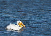 Two American White Pelicans, Pelecanus erythrorhynchos, swim on Lake Ewauna, near Klamath Falls, Oregon