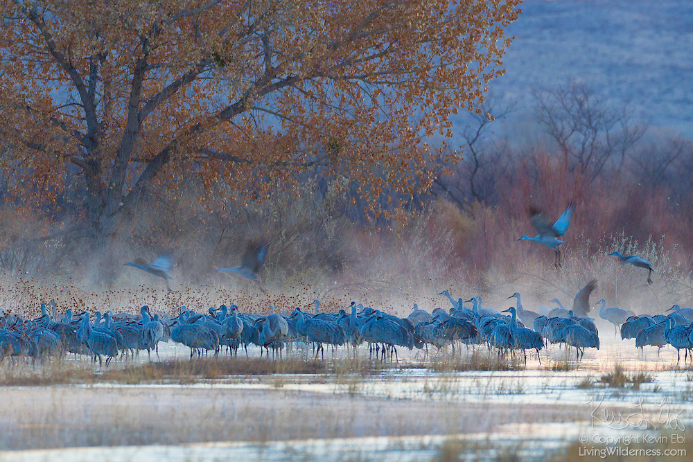 Dozens of sandhill cranes (Grus canadensis) rest on a foggy pond in the Bosque del Apache National Wildlife Refuge in New Mexico.