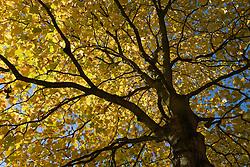 liriodendron tulipifera, tulip tree Herfstblad, Autumn leave