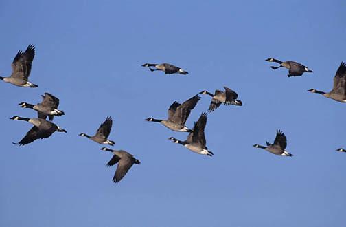 Canada Goose, (Branta candensis) Southern Manitoba. Canada.