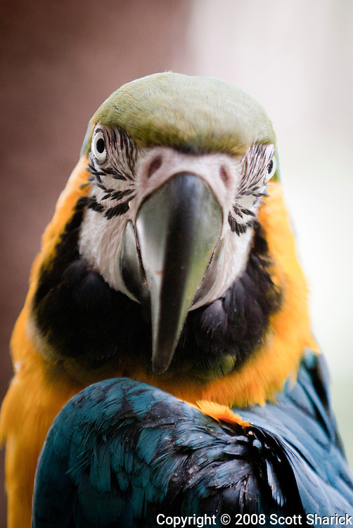 A straight on picture of a Blue and Gold Macaw.