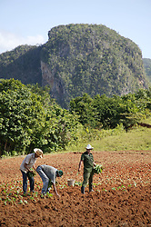 Planting tobacco seedlings on farm near Vinales; Cuba; Mogote rock formation in background,