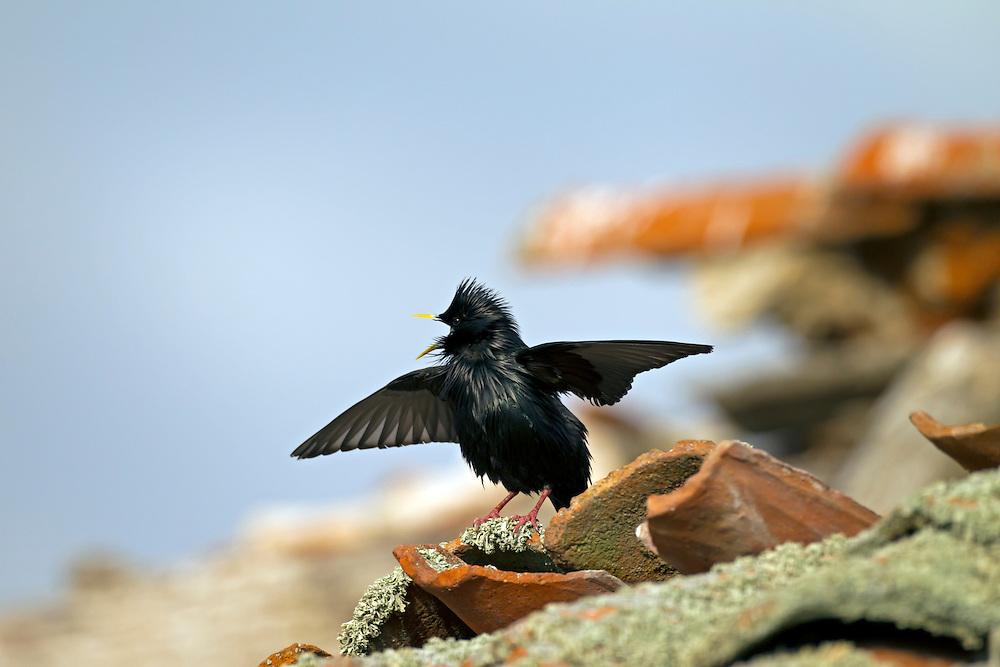 Spotless Starling - Sturnus unicolor - Male