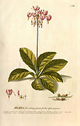 Coloured Copperplate engraving of a flowering plant from hortus nitidissimus by Christoph Jakob Trew (Nuremberg 1750-1792)