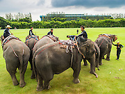"28 AUGUST 2014 - BANGKOK, THAILAND: Elephants and mahouts at the King's Cup Elephant Polo Tournament at VR Sports Club in Samut Prakan on the outskirts of Bangkok, Thailand. The tournament's primary sponsor in Anantara Resorts. This is the 13th year for the King's Cup Elephant Polo Tournament. The sport of elephant polo started in Nepal in 1982. Proceeds from the King's Cup tournament goes to help rehabilitate elephants rescued from abuse. Each team has three players and three elephants. Matches take place on a pitch (field) 80 meters by 48 meters using standard polo balls. The game is divided into two 7 minute ""chukkas"" or halves.     PHOTO BY JACK KURTZ"